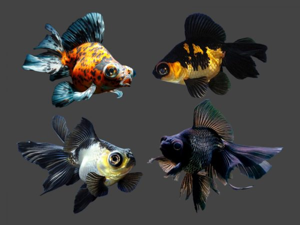 Assorted Butterfly Fantail Goldfish