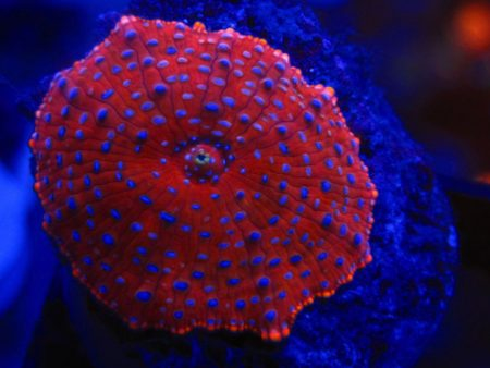 Discosoma sp. Blue Spotted Red (Polyp)