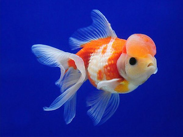 Red White Crown Pearlscale Fantail Goldfish