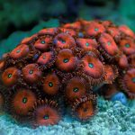 Zoanthus sp. Red (Frag)